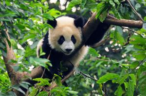 See Pandas at Sichuan Giant Panda Sanctuaries, China (UNESCO site)