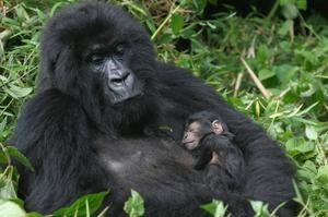 See Mountain Gorillas in Virunga National Park, DRC (UNESCO site)