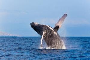 See Humpback Whales off Maui, Hawaii