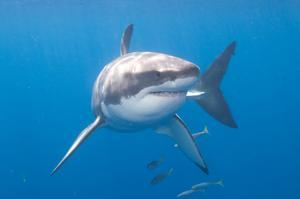 Dive with Great Whites Sharks off Guadalupe Island, Mexico