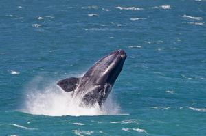 See Southern Right Whales off Hermanus, South Africa