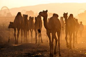 Attend Pushkar Camel Fair, India