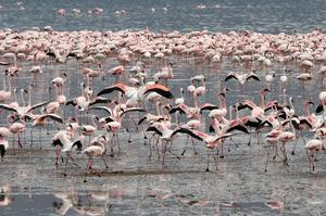 See Flamingos on Lake Bogoria, Kenya