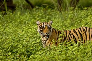 See Bengal Tigers in Ranthambore National Park, India