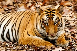 See Bengal Tigers in Bandhavgarh National Park, India