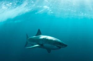 Dive with Great White Sharks off Gansbaai, South Africa