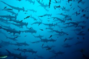 Dive with Hammerhead Sharks off the Galápagos Islands, Ecuador
