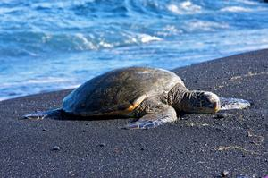 See Punaluʻu Beach (Black Sand Beach), Big Island, Hawaii