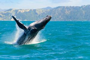 See Whales off Kaikoura Peninsula, New Zealand