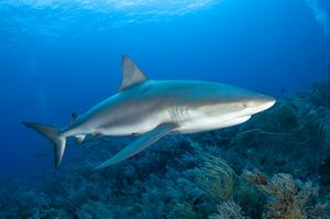Dive with Caribbean Reef Sharks