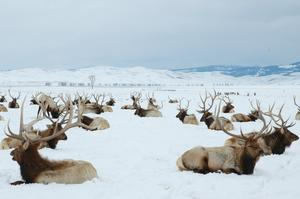 See Elk at National Elk Refuge, Jackson Hole, Wyoming