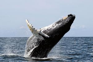 See Whales off Cape Cod, Massachusetts