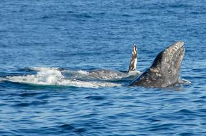 See Whales off San Diego, California