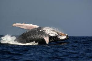 See Whales off Plettenberg Bay, South Africa