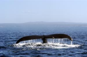 See Whales off Newfoundland and Labrador, Canada