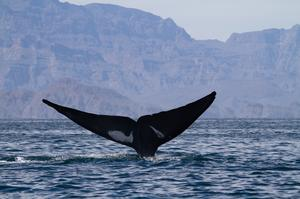 See Whales in the Sea of Córtez, Mexico