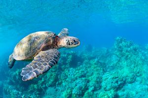 Swim with Turtles on Maui, Hawaii