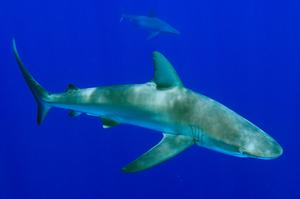 Dive with Galapagos Sharks