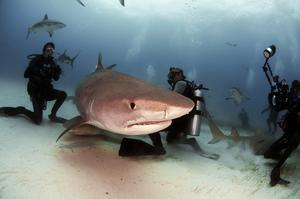 Dive with Tiger Sharks, Tiger Beach, Bahamas