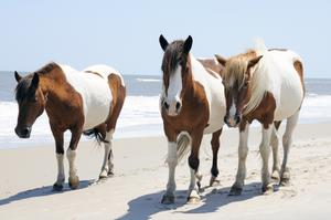 Explore Chincoteague National Wildlife Refuge, Virginia & Maryland