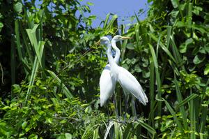 Biding at Great White Heron National Wildlife Refuge, Florida