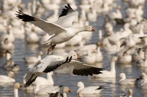 Birding at Bosque del Apache National Wildlife Refuge, New Mexico