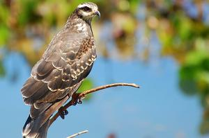 Birding at Loxahatchee National Wildlife Refuge, Palm Beach County, Florida
