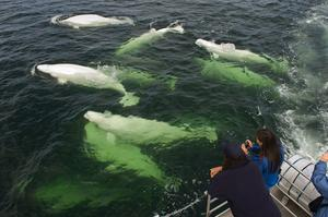 Swim with Beluga Whales in Churchill River, Manitoba, Canada