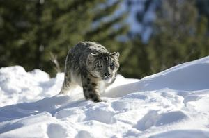 See a Snow Leopard in the Wild