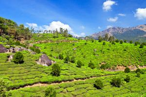 See Tea Plantation in Munnar, India