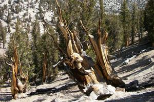 See Methuselah Tree (Oldest Living Tree), Ancient Bristlecone Pine Forest, California