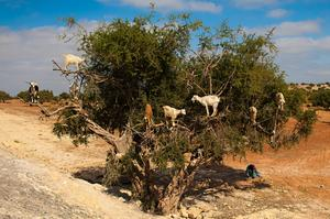 See Argan Tree Climbing Goats of Morrocco