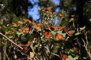 See Monarch Butterflies at Monarch Butterfly Biosphere Reserve, Mexico (UNESCO site)