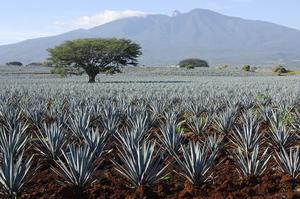 Drink Tequila in Tequila, Mexico (UNESCO site)