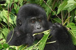 See Mountain Gorillas in Bwindi National Park, Uganda (UNESCO site)