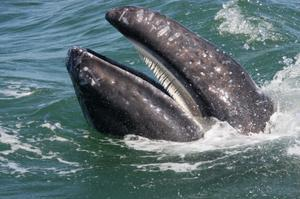See Grey Whales at the Sanctuary of Bahía Magdalena (Mag Bay), Baja, Mexico